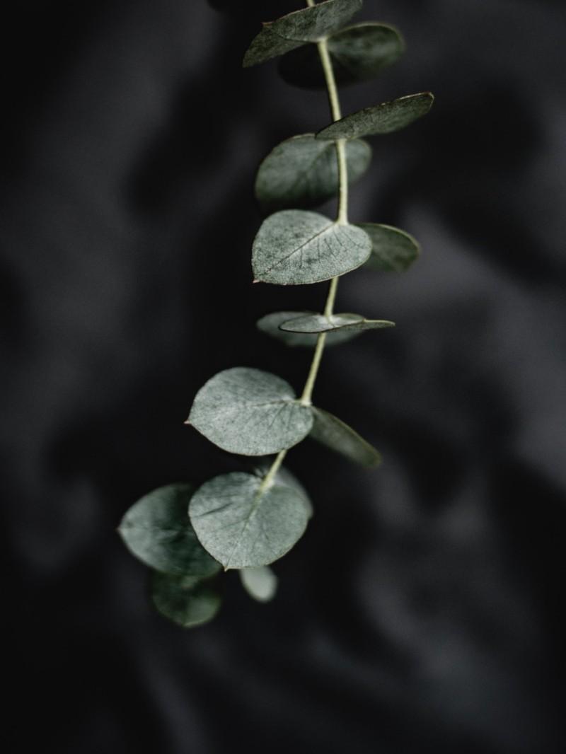 Ein Eukalyptuszweig vor dunklem Hintergrund.