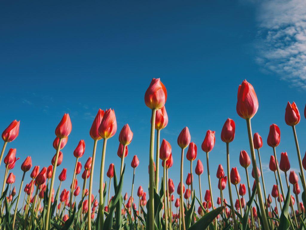 Rotes Tulpenfeld von unten in den Himmel fotografiert