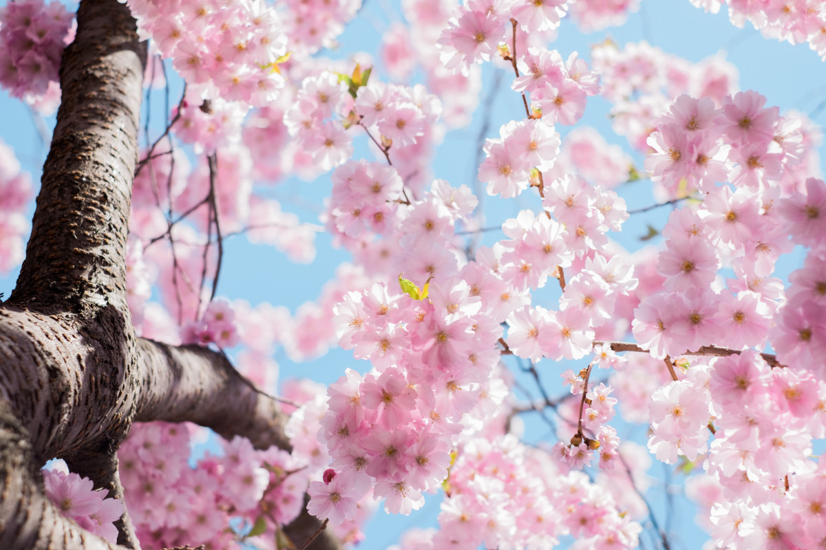 Rosafarbener Kirschblütenbaum