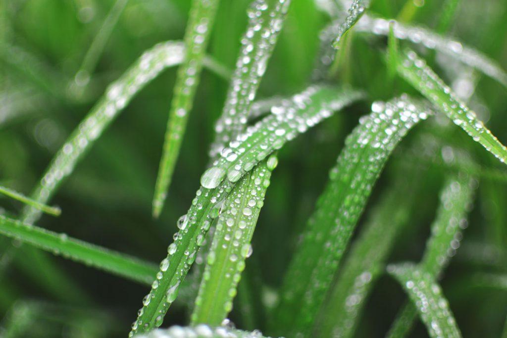 Regentropfen sammeln sich auf saftig grünen Grashalmen.