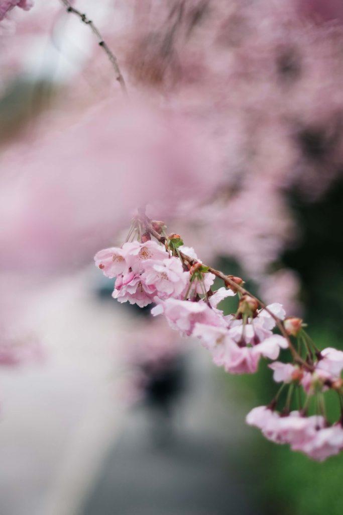 Makroaufnahme von Kirschblüten eingerahmt in einem wundervollen Bokeh