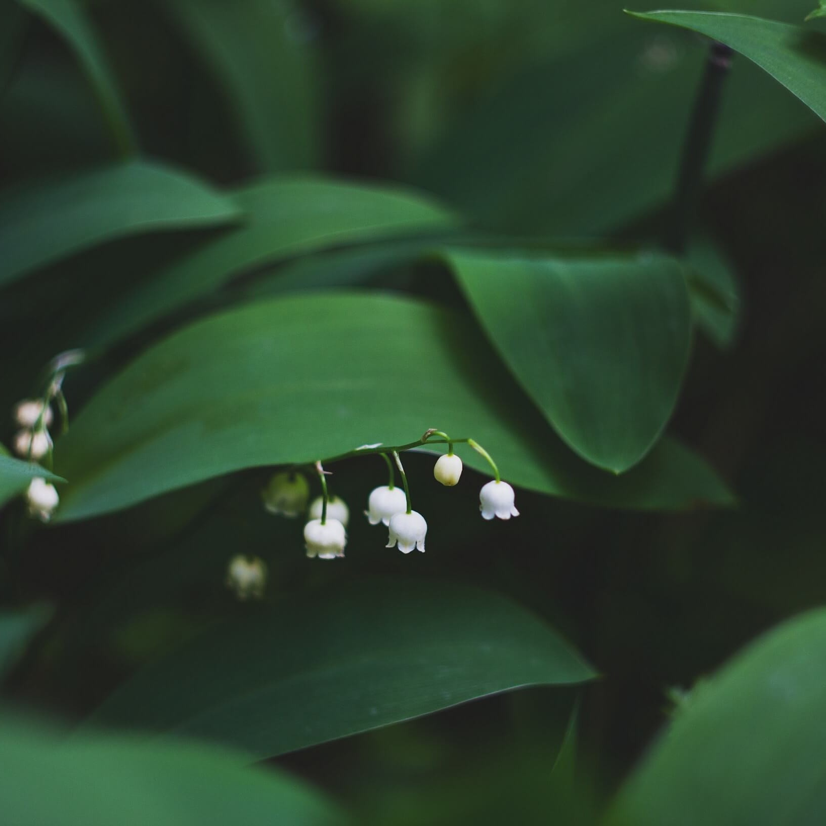 Maiglöckchen tauchen unter einem Blatt hervor