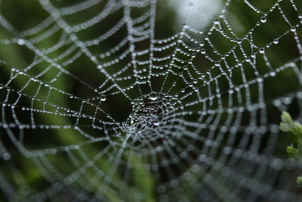 Regentropfen sammeln sich in einem Spinnennetz.