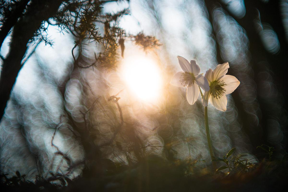 Blume im Wald im Gegenlicht.