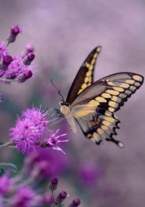 Ein großer gelber Schmetterling sitzt auf lilafarbenen Blumen und setzt damit einen tollen Farbkontrast.