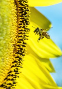 Eine Biene ist im Anflug auf eine große Sonnenblume. Durch die Macrofotografie lässt sich dieser Moment perfekt festhalten.