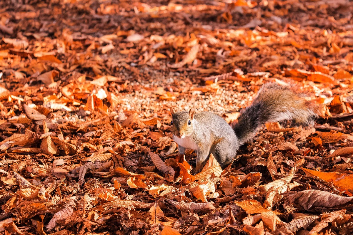 Eichhörnchen getarnt im Herbstlaub