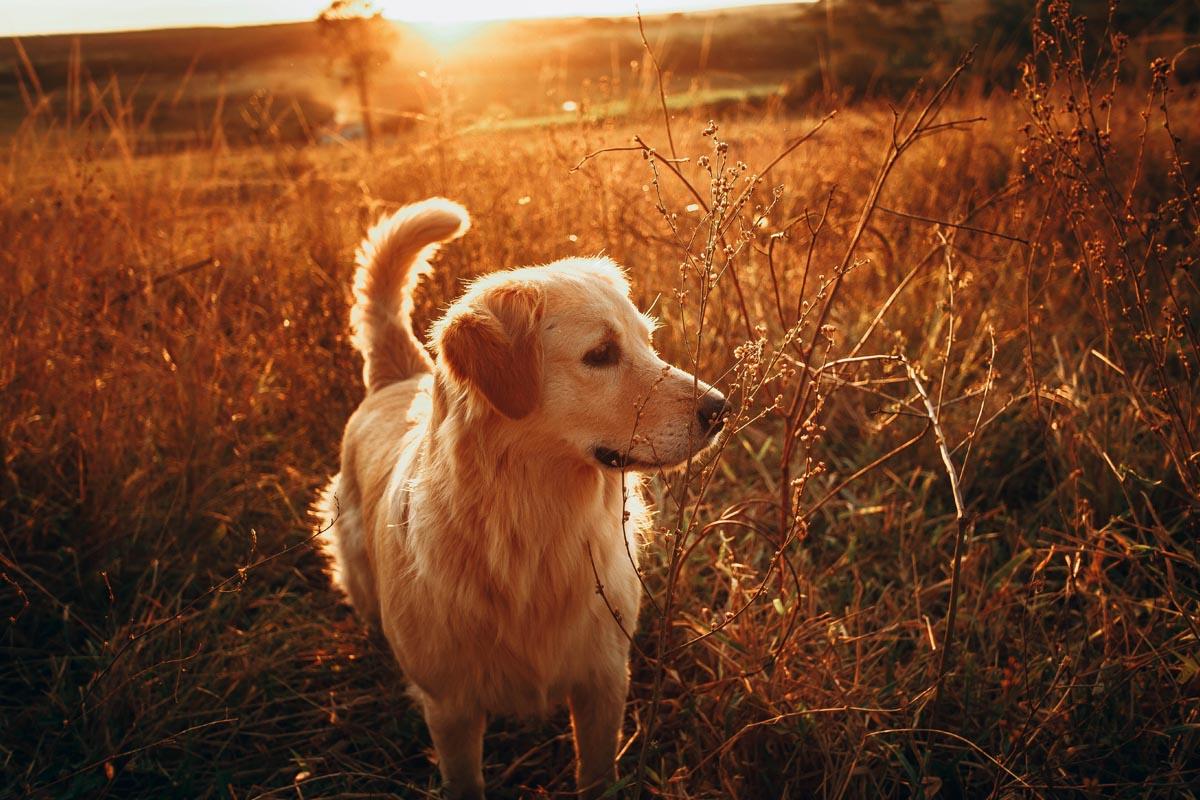 Golden Retriever im Feld bei Sonnenuntergang