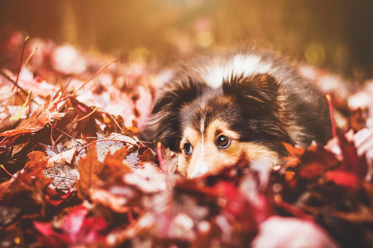 Hund liegt im buten Herbstlaub