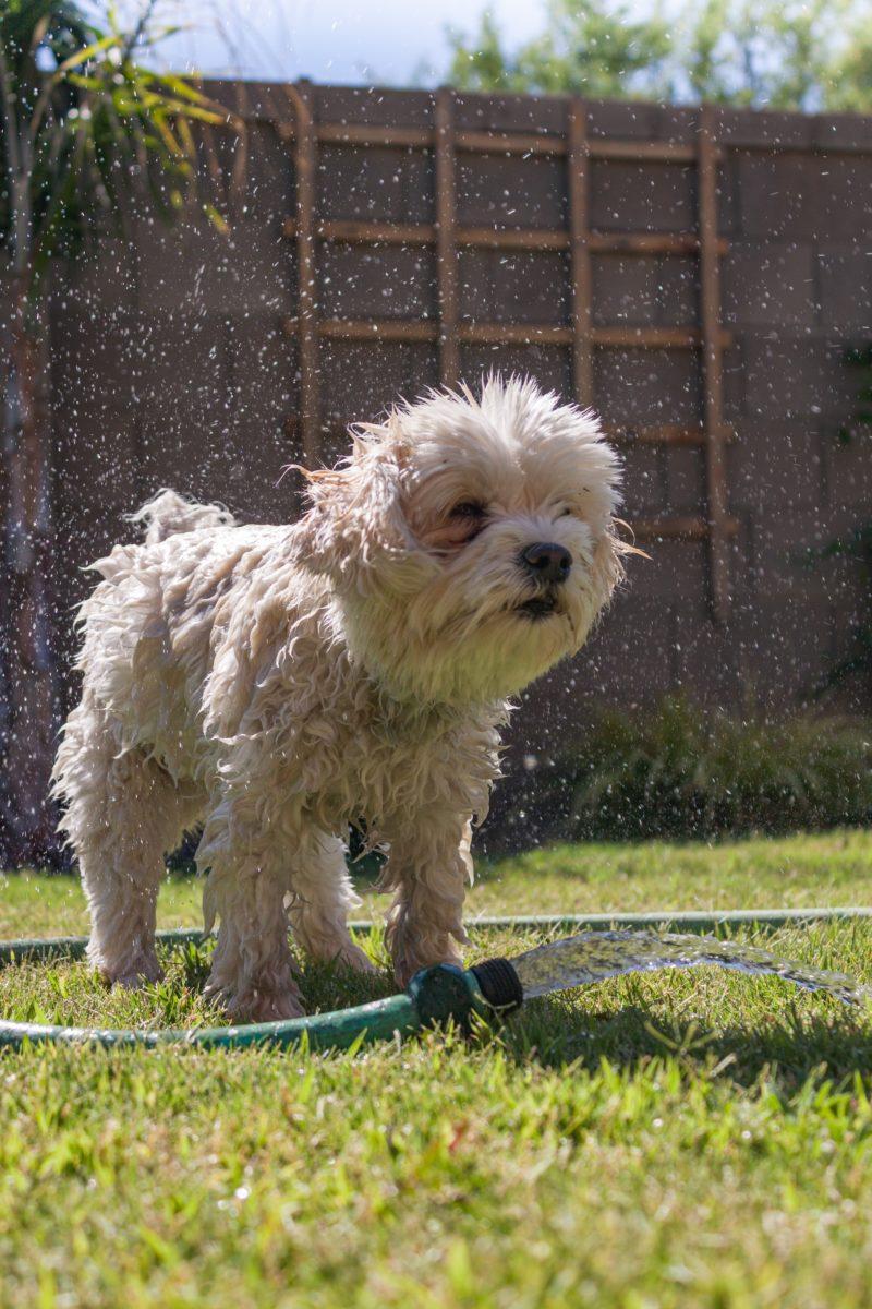 Kleiner weißer Hund steht nass im Garten und schüttelt sich