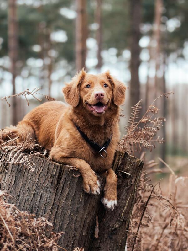 Hund sitzt auf Baumstamm im Wald