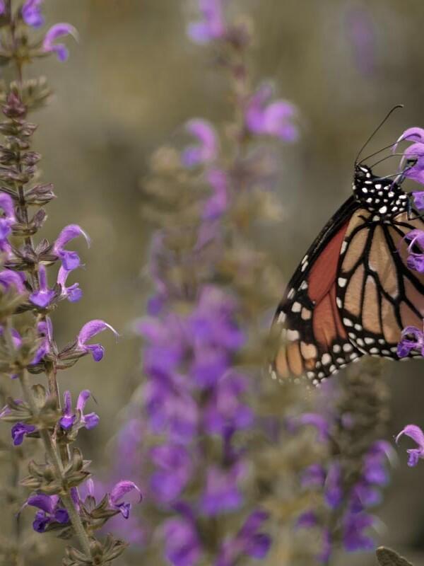 Nahaufnahme von einem Schmetterling in einer lilafarbenen Blumenwiese
