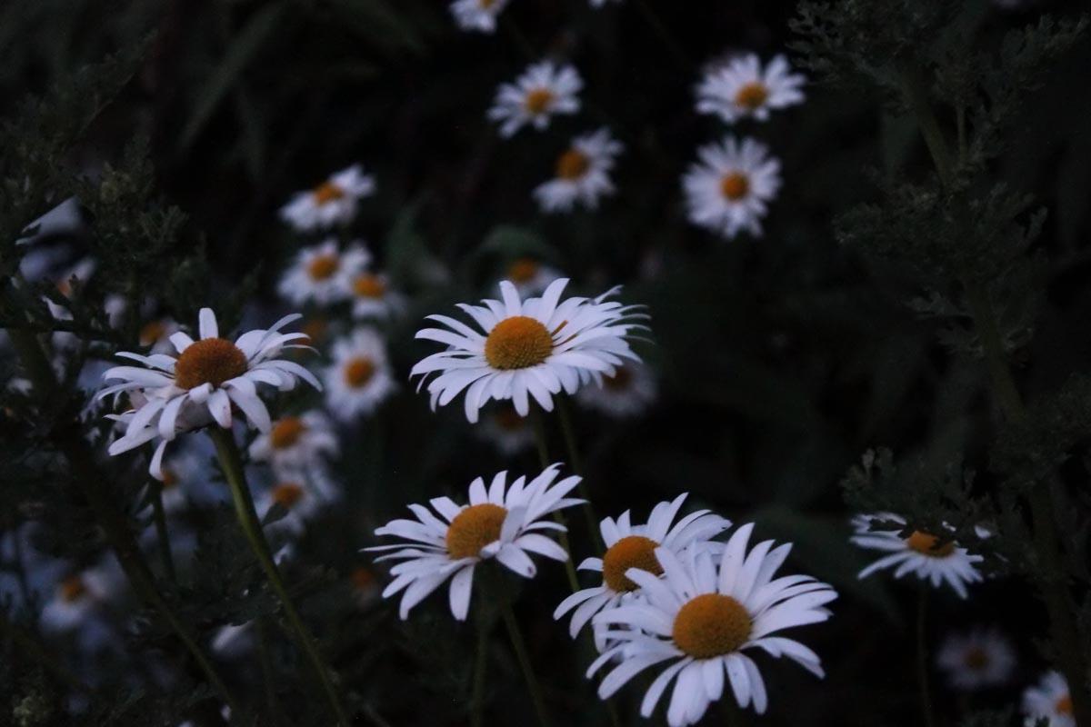 Nahaufnahmen von Gänseblümchen