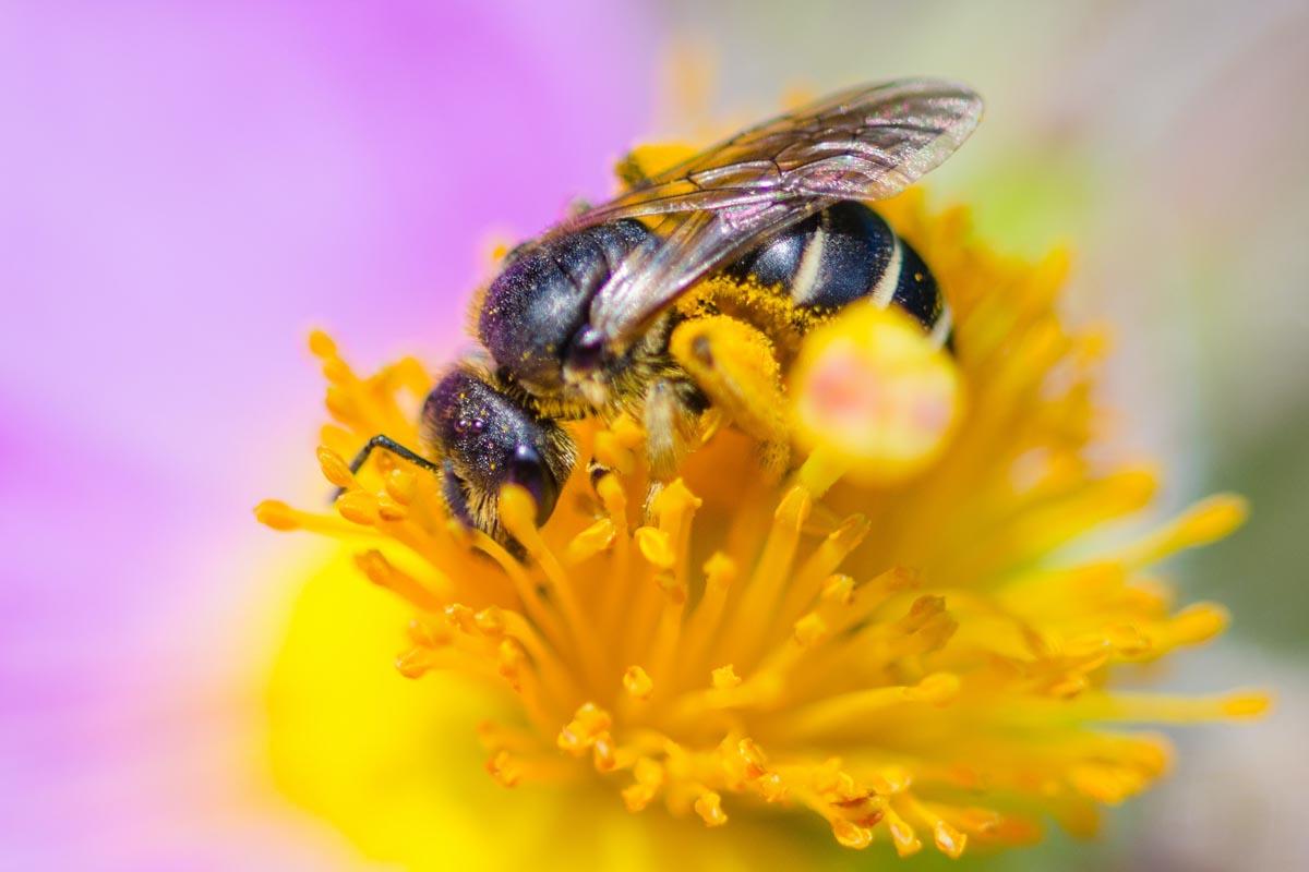 Makrofotografie einer Biene