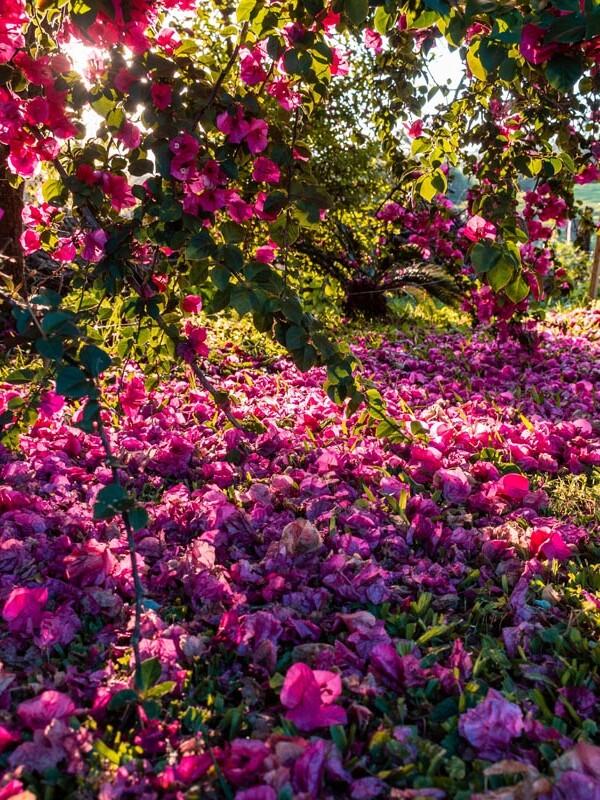 Blütenmeer im Garten bei Sonnenuntergang