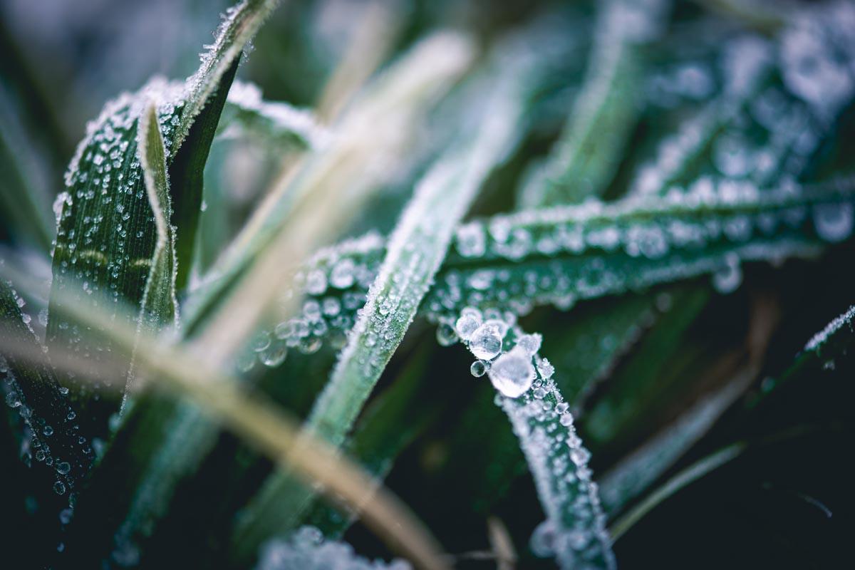 Raureif auf Grashalmen bei Frost