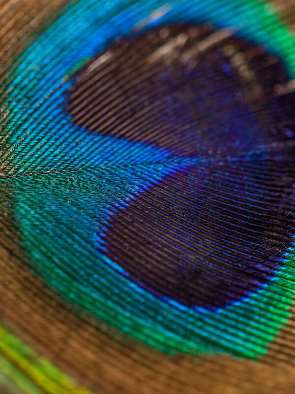 Makroaufnahme einer Pfauenfeder