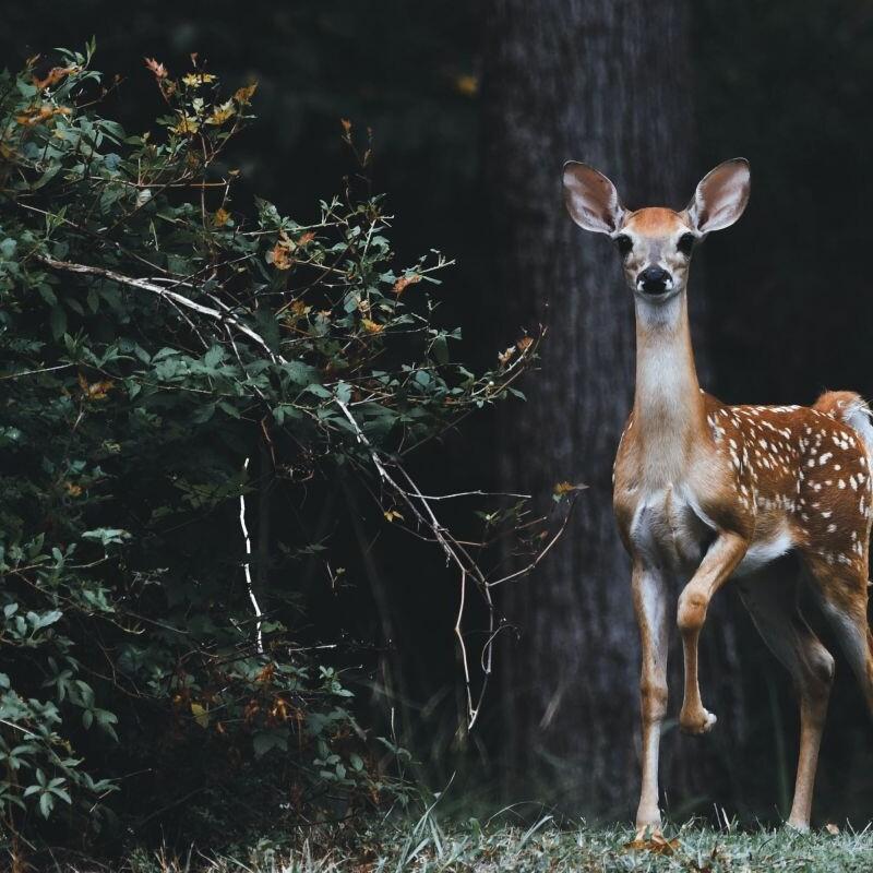 Reh im Wald