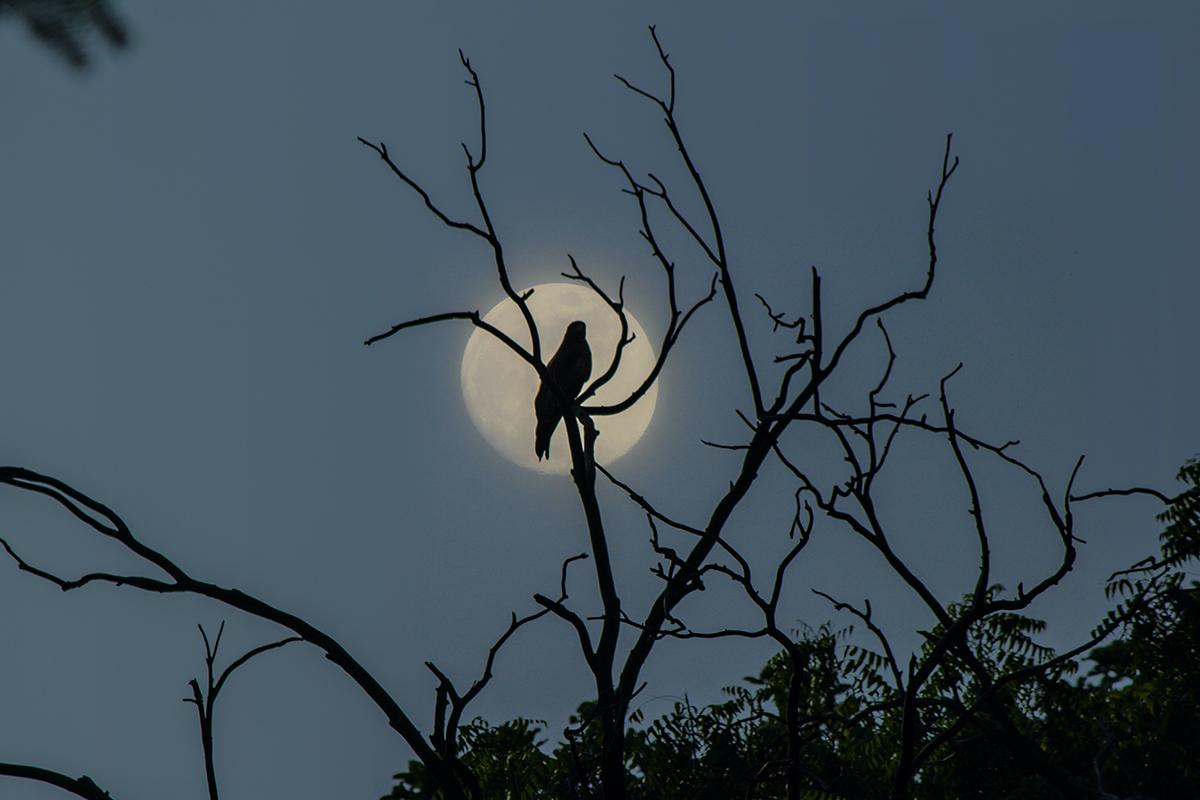Vollmond Vogel auf Baum